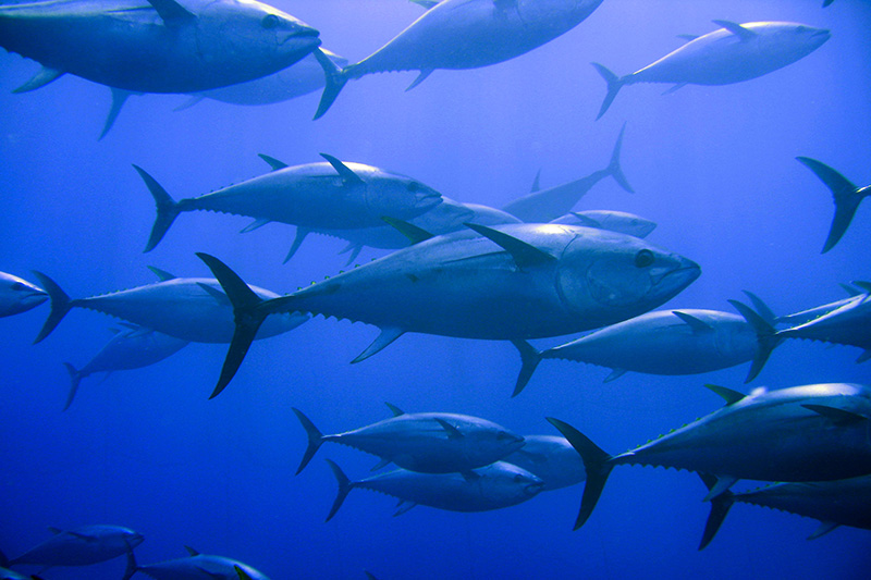Inmara Marine Resource Advice Global Tuna Fisheries
